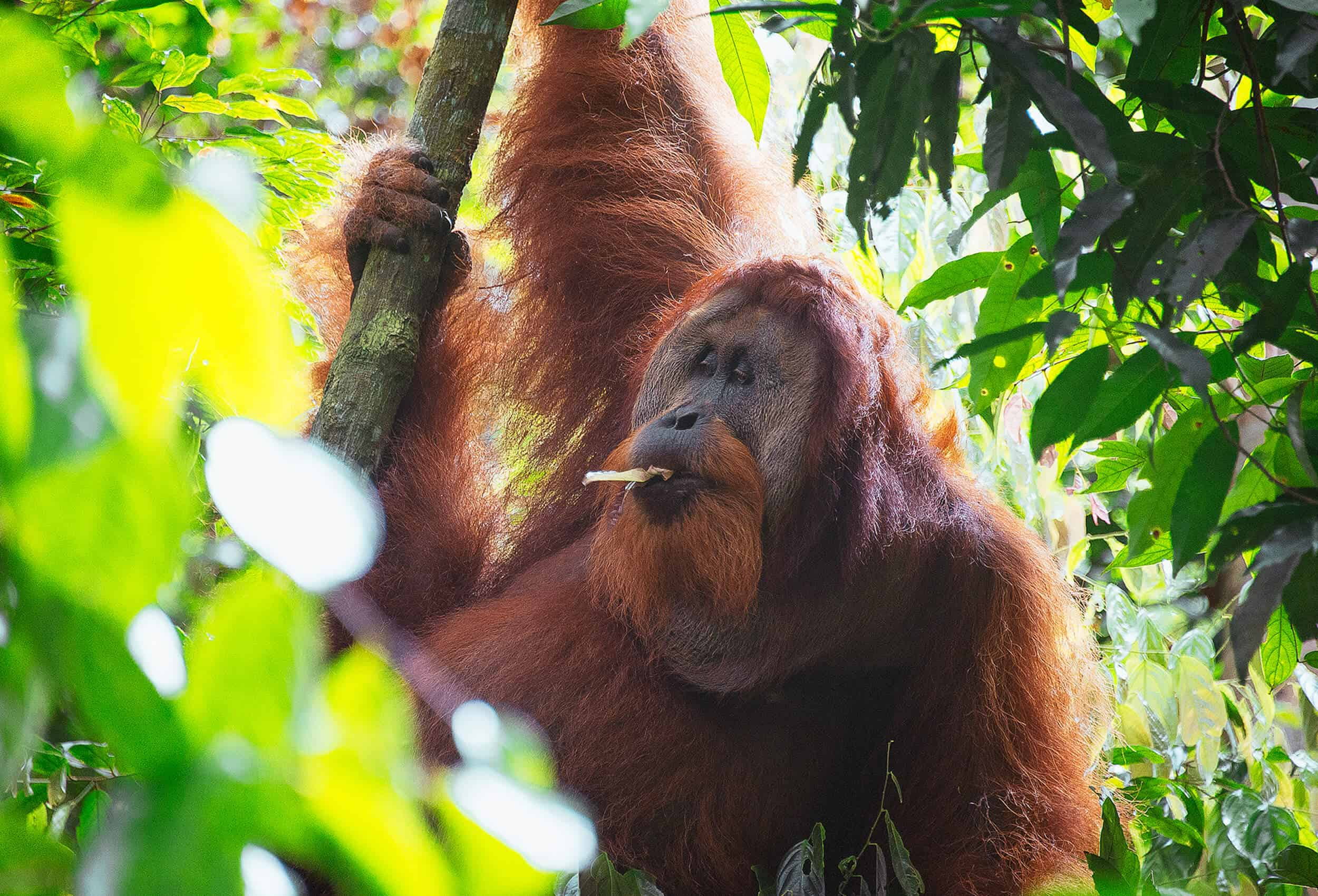 This image OrangUtan_ is for visual improvements for page Our orangutan coffee