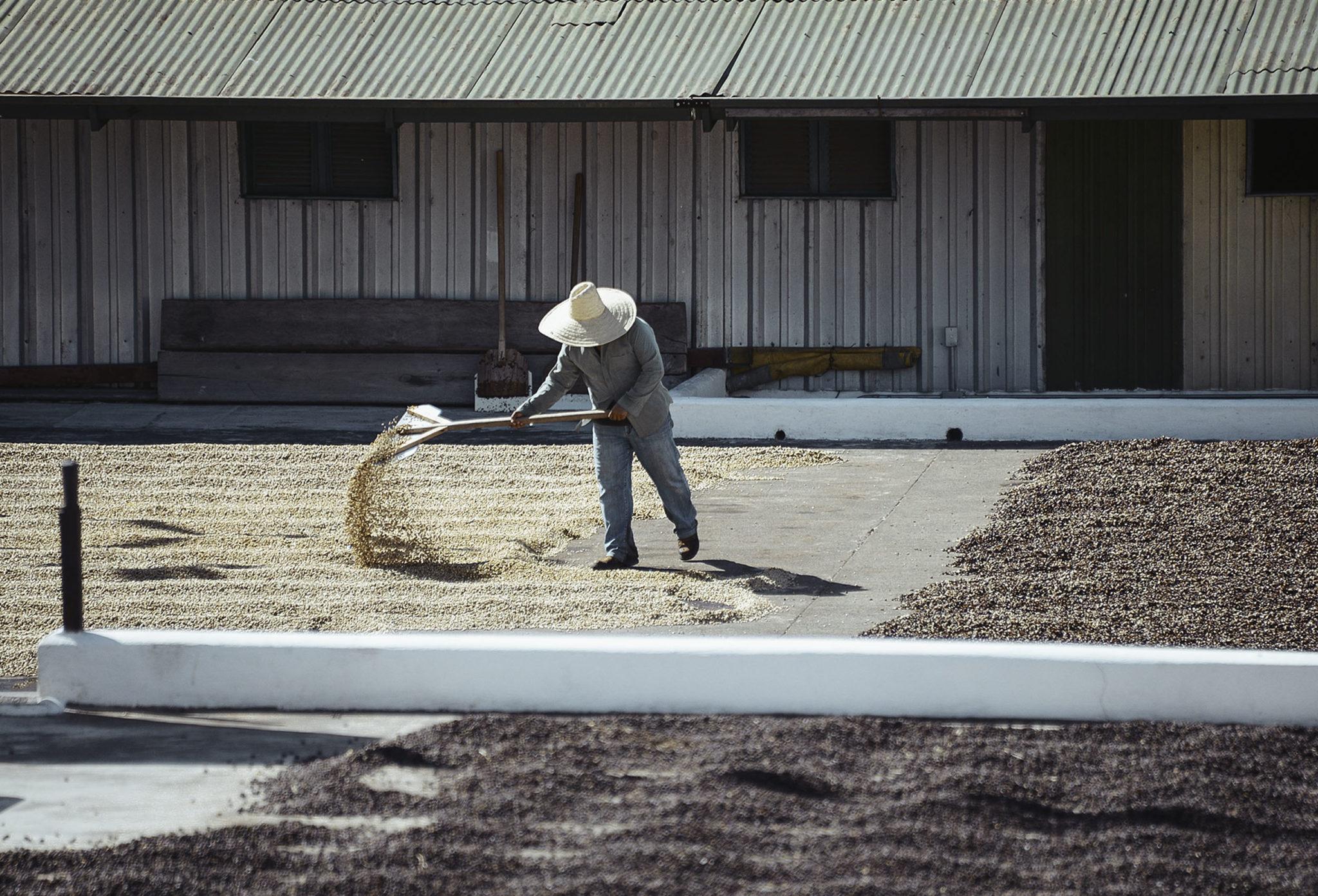 coffee farmer turning coffee on patio in guatemala