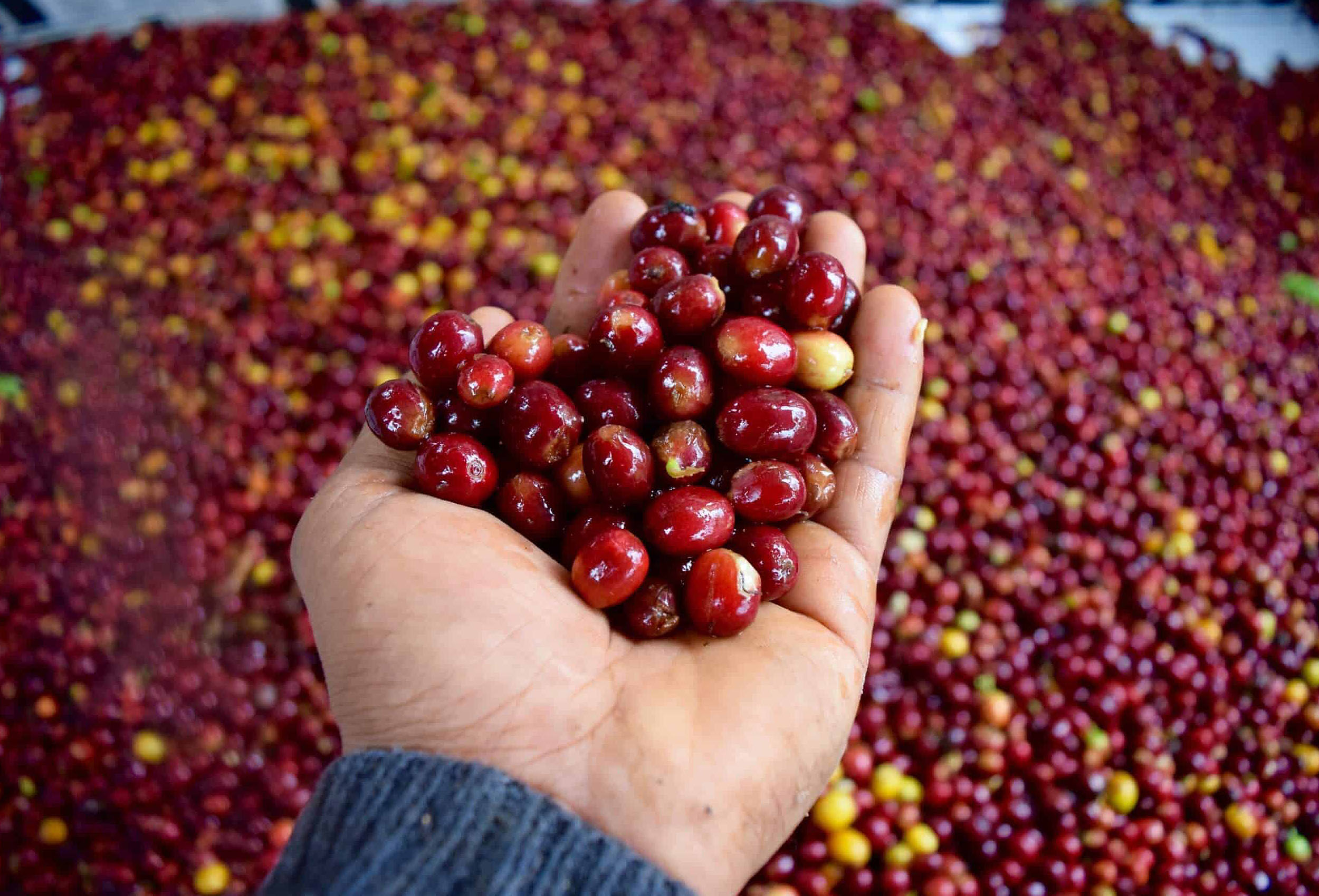 red coffee cherries in farmer's hand on coffee farm in pitalito colombia