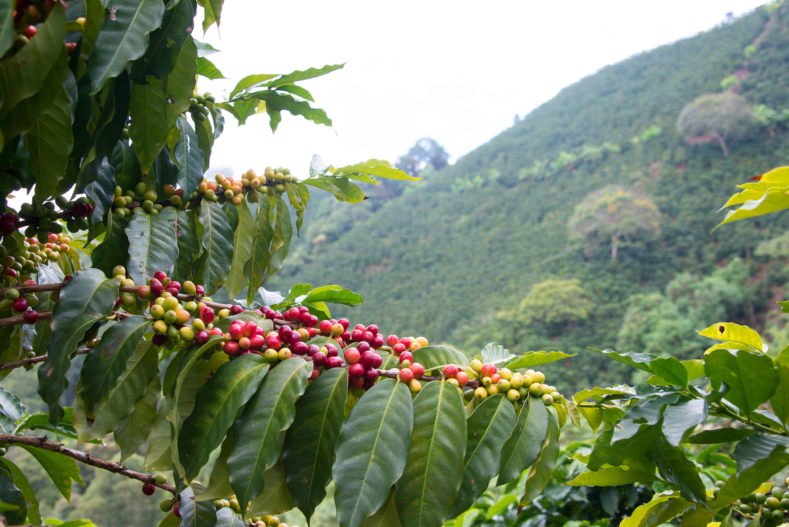 Red coffee cherries and coffee plant