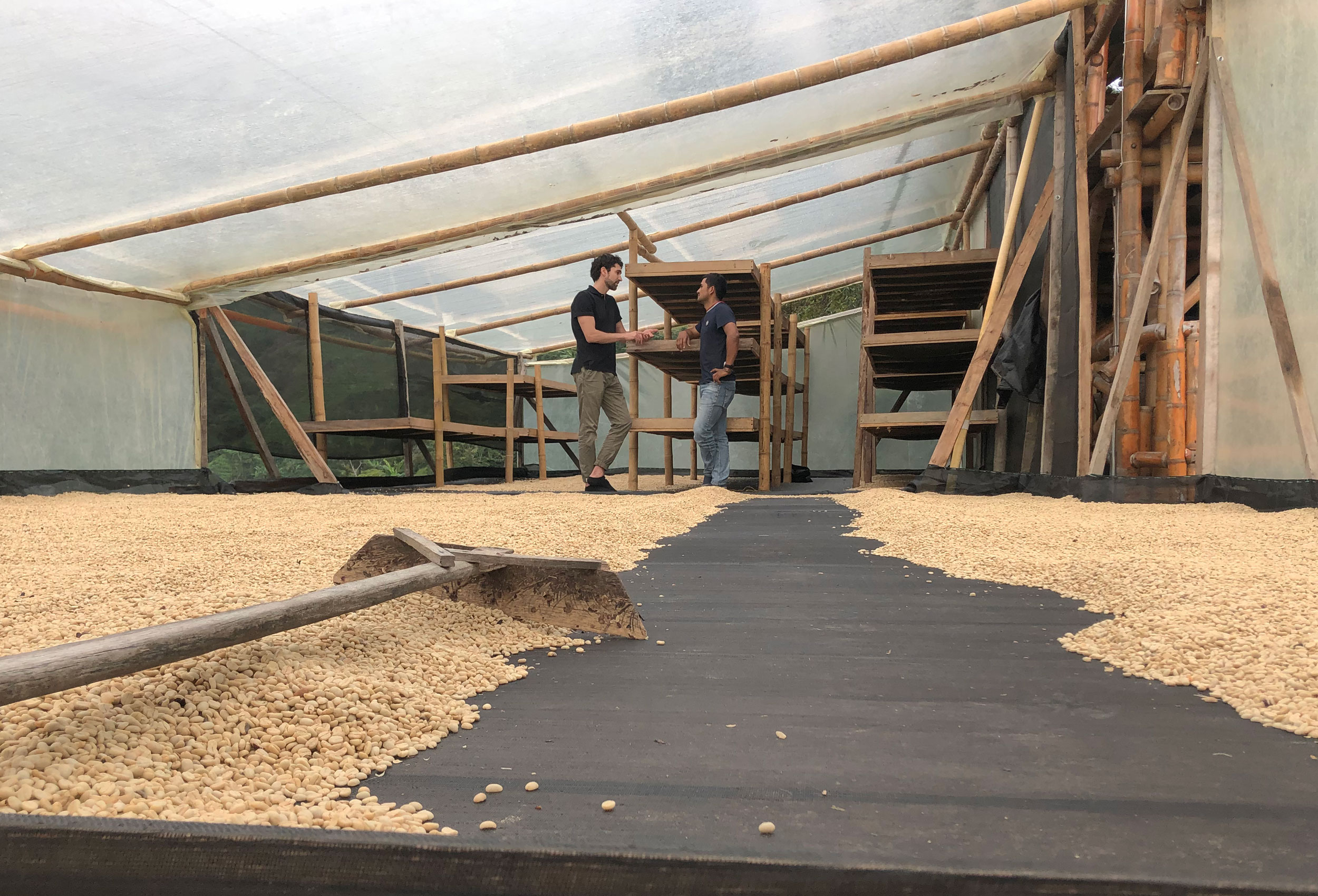 Coffee drying in green house