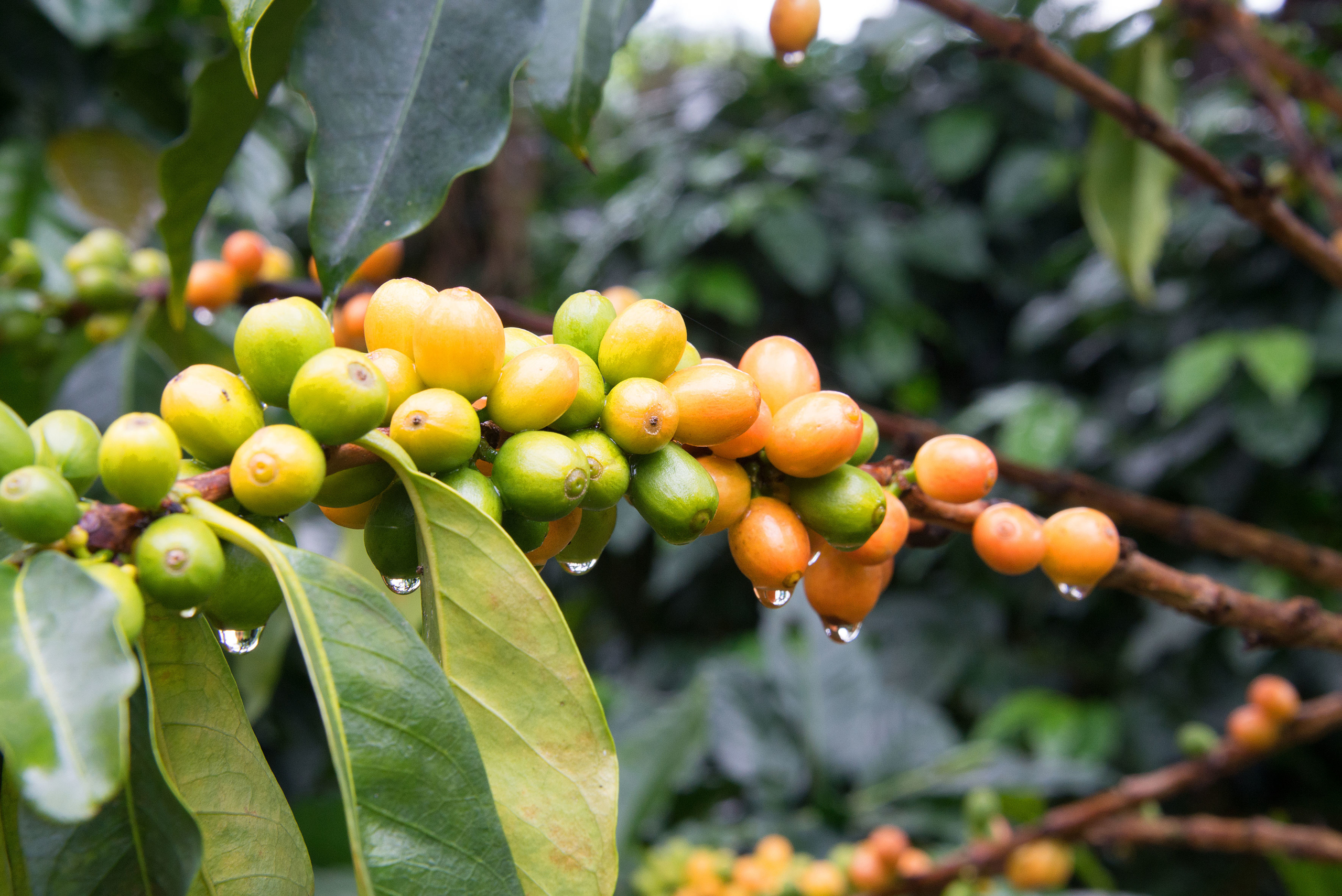 Coffee cherries of different color on coffee plant