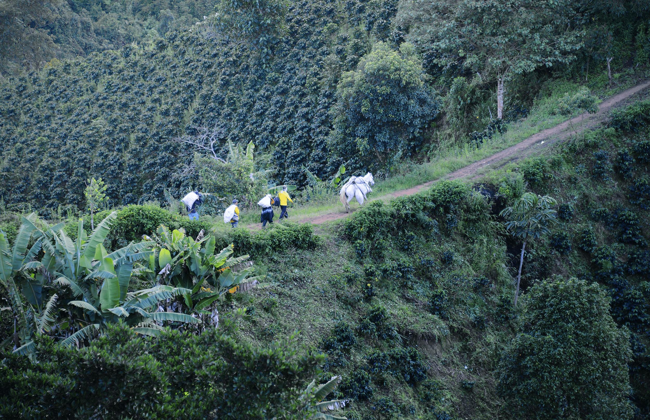 horse transporting coffee on a colombian coffee farm