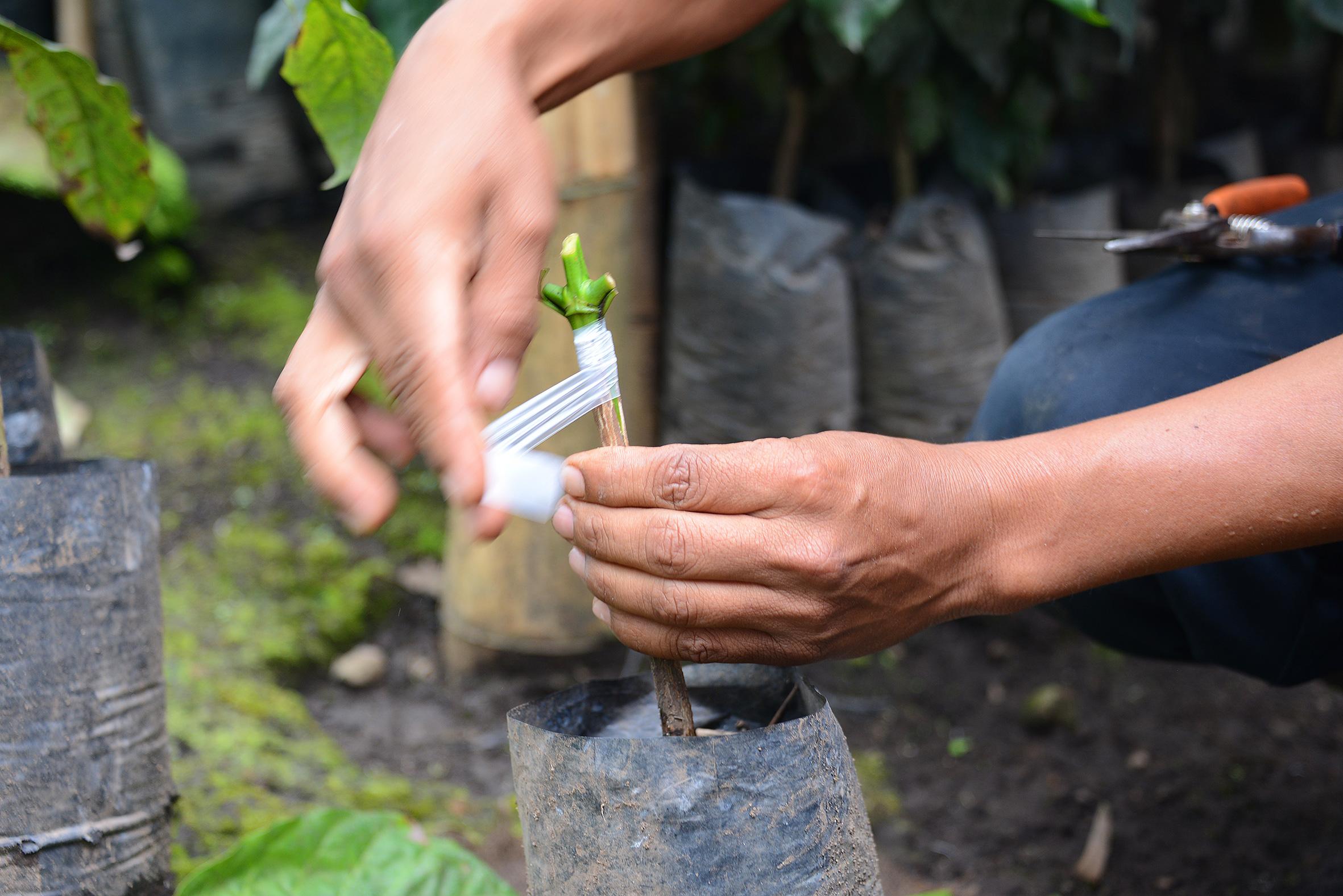 coffee plant in guatemala