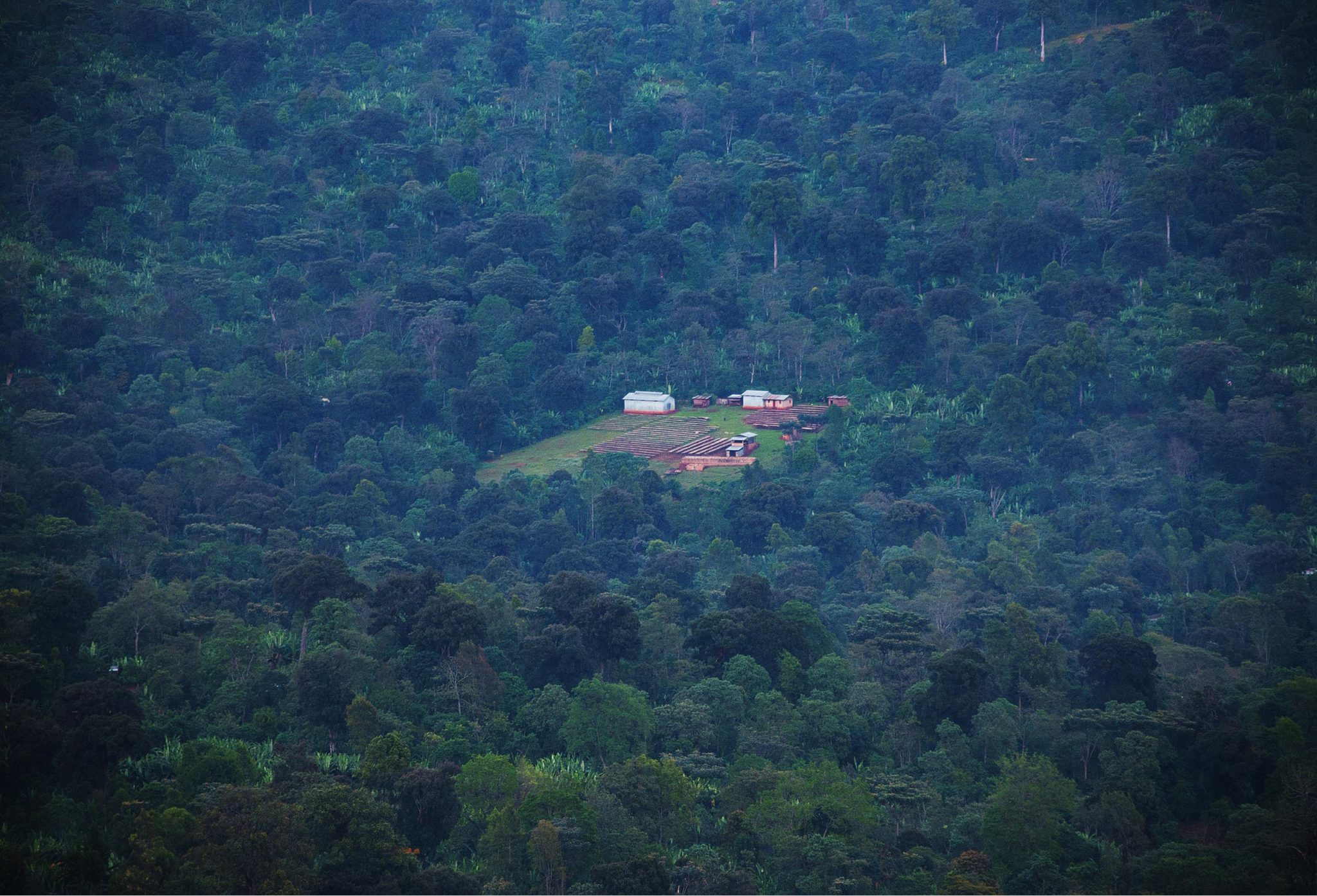 coffee farm in gedeo ethiopia