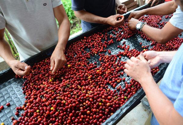 Sorting red coffee cherries on Finca Los Nogales