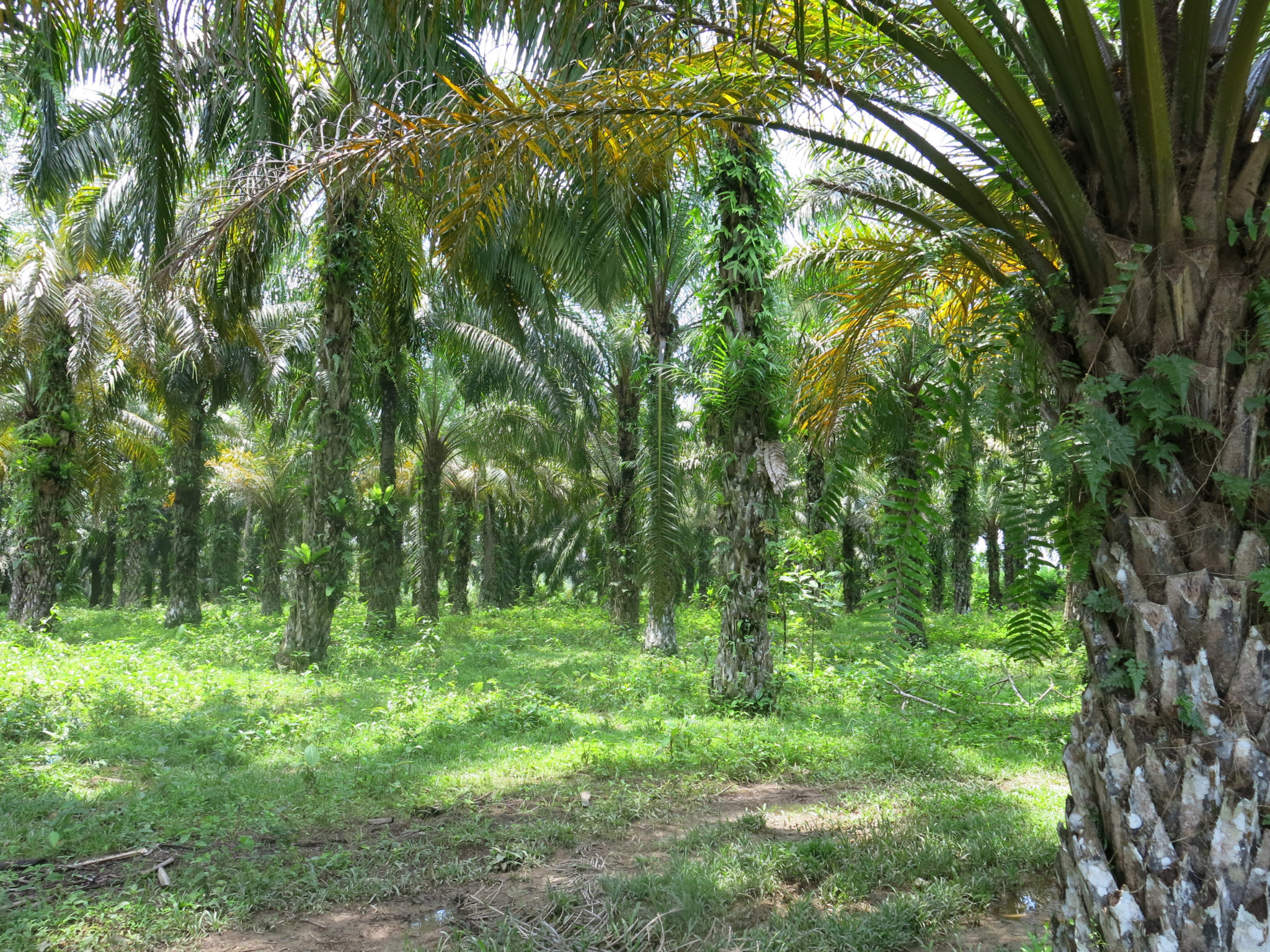 Palmoil Plantation in Sumatra